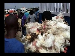 Pollos-en-frontera-300x225