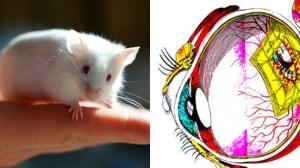 Rat ciego