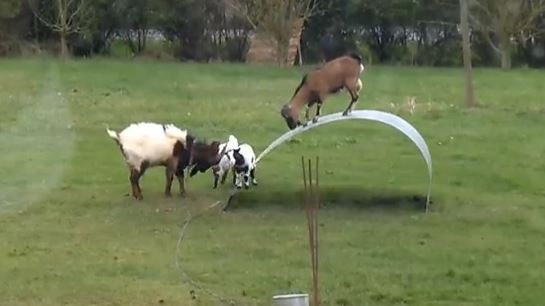 "Video de ""cabras equilibristas"" arrasa en las redes sociales #Video"