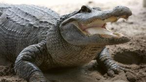 alligator-florida